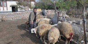 Ağıla giren kurtlar 13 koyunu telef etti